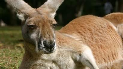 Kangaroo Wallpapers Wallpaperboat Face Imagenswiki Disponiveis Resolucoes