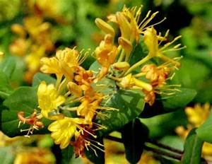 Lonicera flava Native Yellow Honeysuckle Plants & Seed
