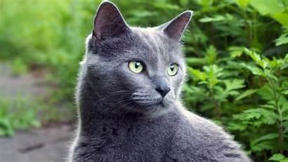 Cat Cats Russian Grey Warrior Nature Eyes
