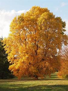 17 Best Images About Liriodendron Tulipifera On Pinterest
