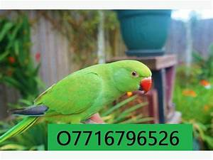 Indian Parrot Information For Kids
