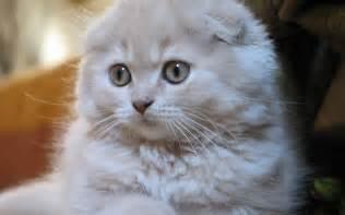 munchkin cat price scottish fold lovely baby 1920x1200 wallpapers scottish
