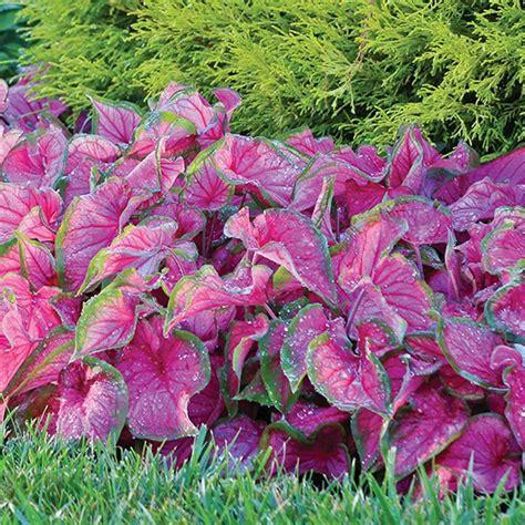 longfield gardens  florida sweetheart caladium bulbs