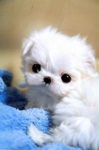 teacup maltese puppies | MS Puppy Connection