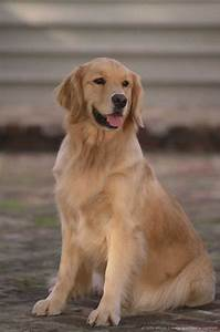 Golden Red River : best 25 golden retriever names ideas on pinterest cute pups golden retriever puppies and ~ Orissabook.com Haus und Dekorationen