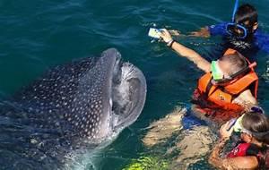 Nadar junto a tiburón ballena, experiencia única e irrepetible Rotativo de Querétaro, Diario