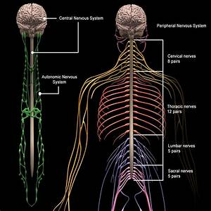 Human Anatomy Brain  U0026 Nervous System  U2013 Motioncow