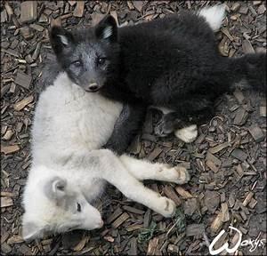 Baby arctic fox: murder? by woxys on DeviantArt