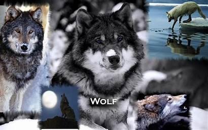 Wolves Wallpapers Wolf Fanpop Background Backgrounds Desktop