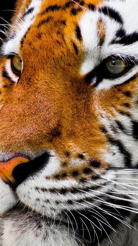 Wallpaper tiger cute animals 4k Animals #16738
