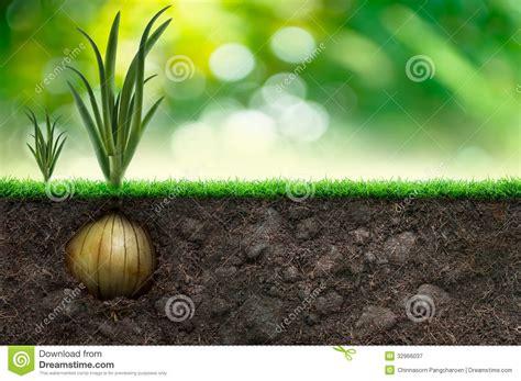 Green Onion Bulbs