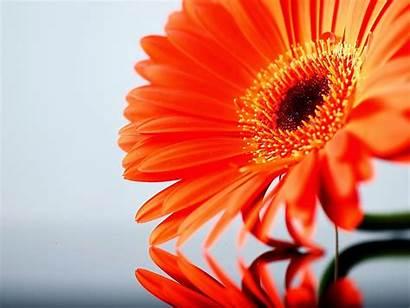 Daisy Flower Desktop Wallpapers