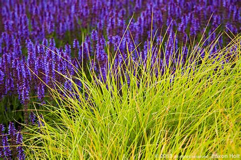 home design app sesleria autumnalis in meadow garden