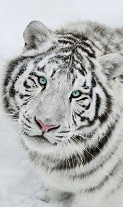 White tiger is feral the king of forest of beast of prey ...