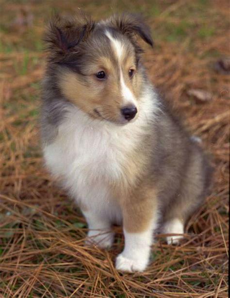 sheltie shed shetland sheepdog sheltie info puppies pictures