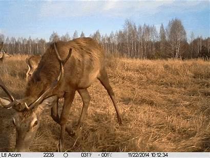 Chernobyl Camera Wildlife Flourishes Tree Wolves Deer