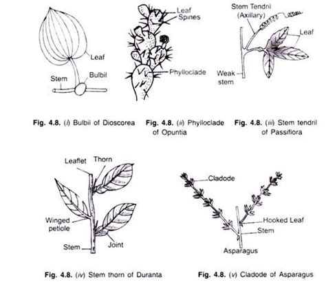 Names Of Modified Roots by Stems In Plants Function Types And Anatomy