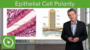 Epithelial Cell Polarity  U2013 Histology