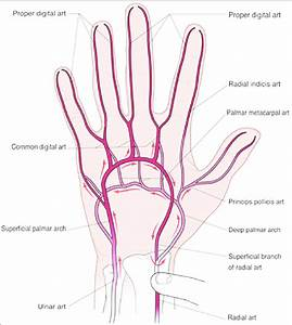 Arterial Anatomy Of The Hand With Direction Of Blood Flow