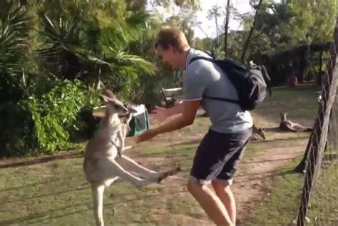 kangaroo punches  kicks  man    pet