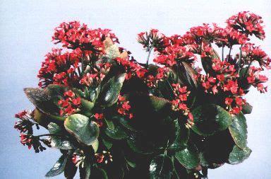 zimmerpflanze mit roten blüten zimmerpflanze mit roten bluten