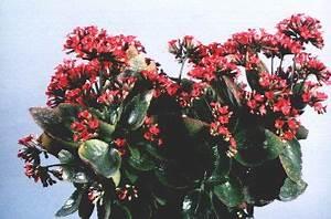 Pflanze Mit Roten Blüten : informationszentrale gegen vergiftungen flammendes k thchen ~ Eleganceandgraceweddings.com Haus und Dekorationen