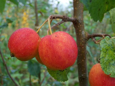 crab apples trees dartmouth shop crab apple trees online habitat aid