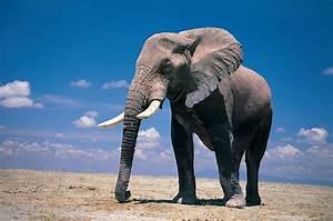 Elephants - wallpaper