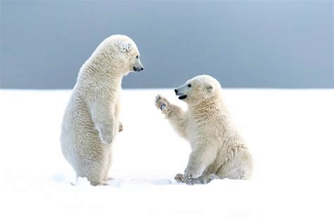 Polar Bear Hd Wallpapers For Desktop Polar Bear Pictures