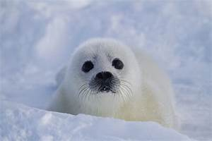 Harp Seal | www.imgkid.com - The Image Kid Has It!