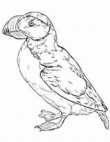 Puffin Horned Coloring Printable Coloringonly sketch template