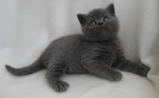 shorthair cat 2 beautiful shorthair kittens for