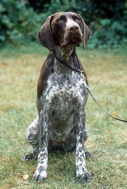 german shorthaired pointer shedding german shorthaired pointer history temperament
