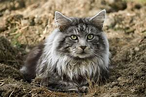 Tracheal Wash In Cats