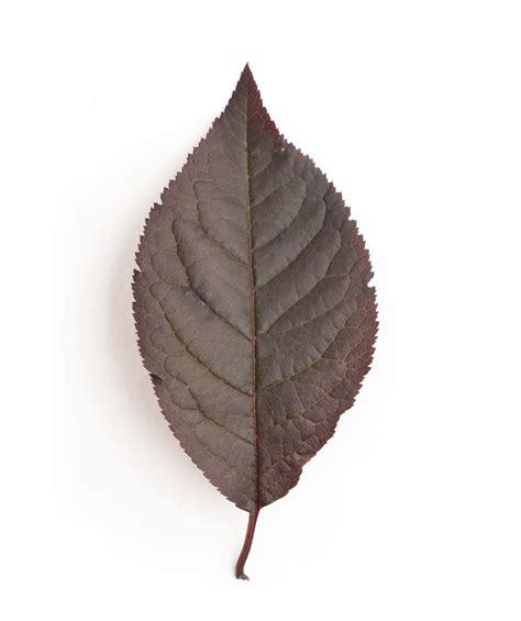 leaf plum tree krauter vesuvius purple leaf plum