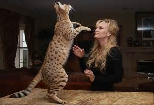big domestic cats cats the coolest feline pet around cultivated