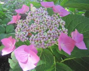 lacecap hydrangea pruning pruning hydrangeas how to prune hq