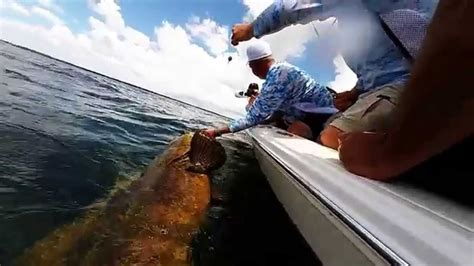 grouper caught tampa bay goliath
