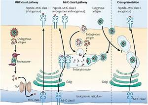 Mhc Antigen Presentation Pathways In Dendritic Cells