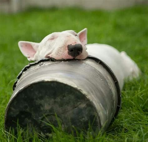 bull terriers  fantastic  awkward sleeping positions