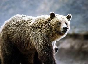 Grizzlybär – Wikipedia  Grizzly