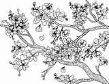 Blossom Cherry Coloring Adult Tree Pages Blossoms Printable Flower Coloringgarden Trees Sheets Flowers Pdf Japan Colouring Japanese Garden Template Painting sketch template