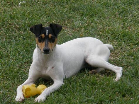 bodeguero andaluz ratonero rat perros terrier dog un terriers perro dogs rats chula del spanish mascotarios