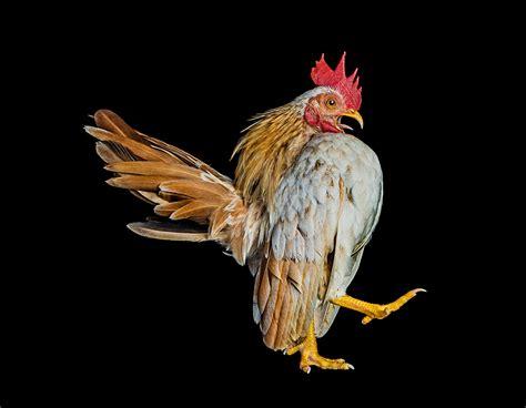 bizarre world  chicken beauty pageants photographed