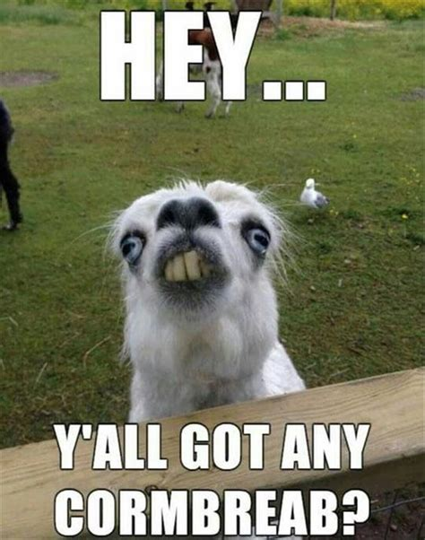 All Meme Pictures - hey y all got any cornbread funny llama photo and meme ashersocrates humor pinterest