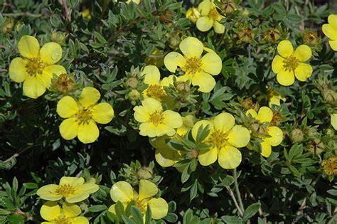 Gold Star Potentilla (Potentilla fruticosa 'Gold Star') in ...