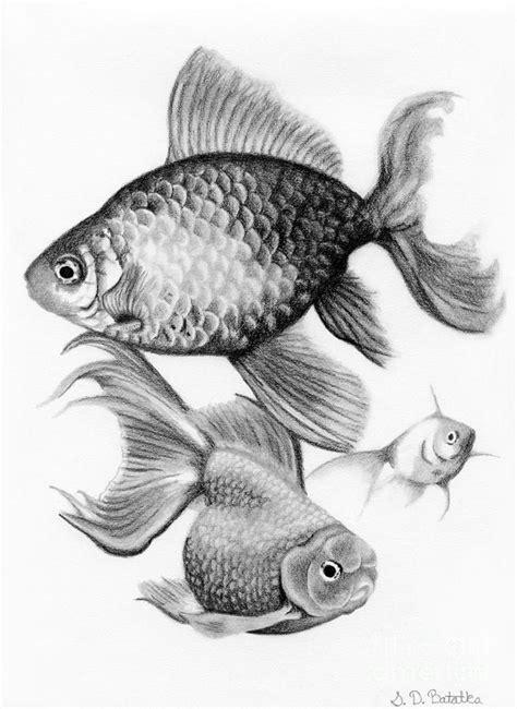 drawn gold fish realistic pencil   color drawn gold