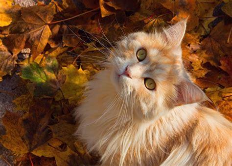 bilder von katze herbst fuchsrot tiere blick