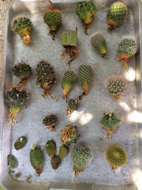 My little cactus farm: โล๊ะลูกหนามมาอาบน้ำแต่งรากชุดหย่ายยยย