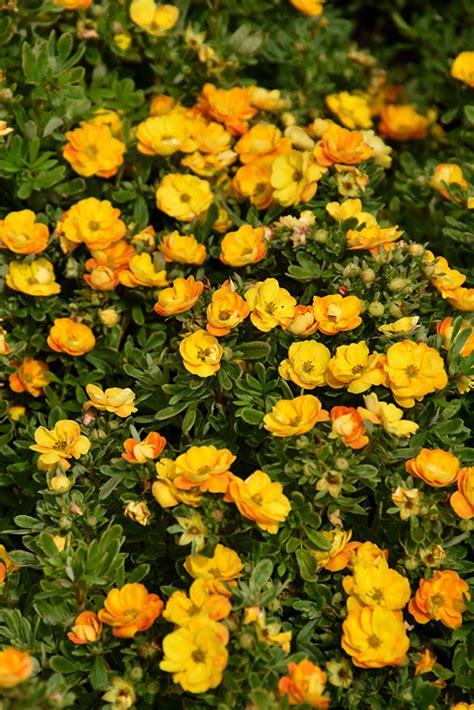 Marmalade® Potentilla (Potentilla fruticosa 'Jefmarm') in ...